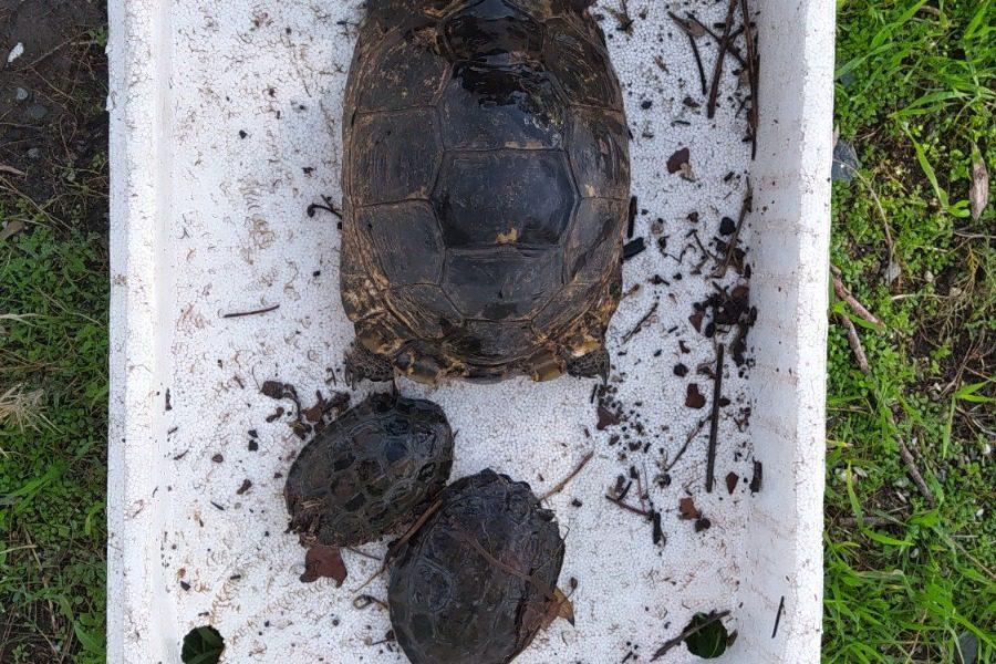 Χελώνες στη Σκάλα Πολιχνίτου, μετά την πηχτή κηλίδα