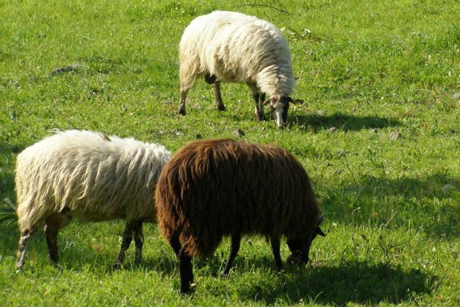 Μέτρα στήριξης των κτηνοτρόφων ζητά η Ομοσπονδία Αγροτικών Συλλόγων Λέσβου