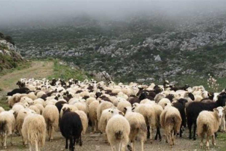 Κτηνοτροφία και Νησιωτικότητα