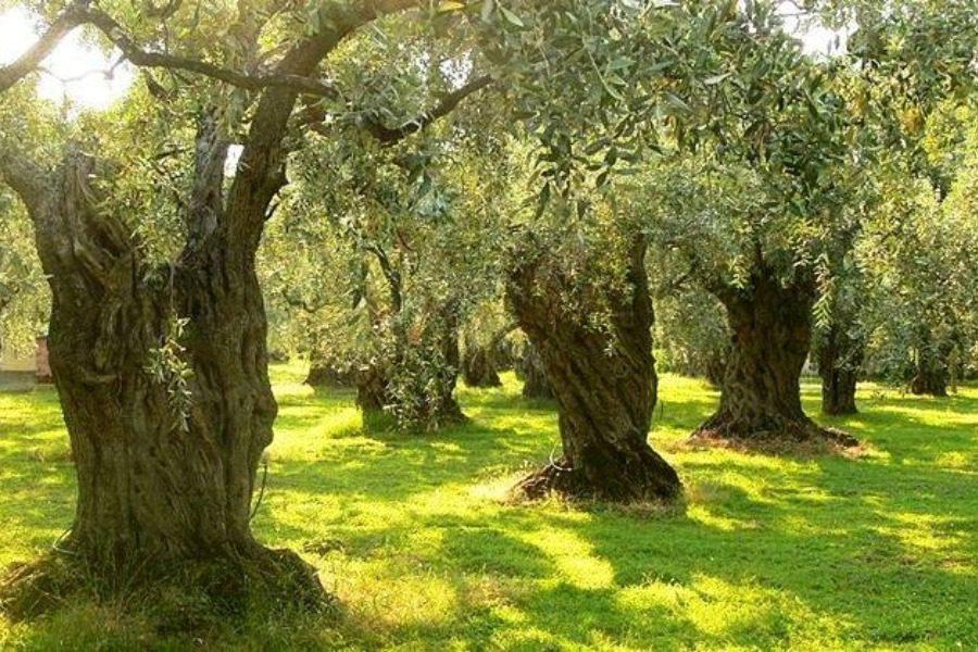 Ενημέρωση για την λίπανση της ελιάς με σύγχρονη τεχνολογία