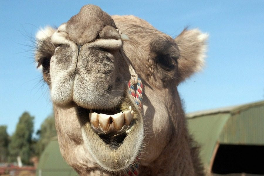 Αυστραλία: Ελεύθεροι σκοπευτές σκότωσαν 5.000 καμήλες για να «προστατεύσουν τα αποθέματα νερού»
