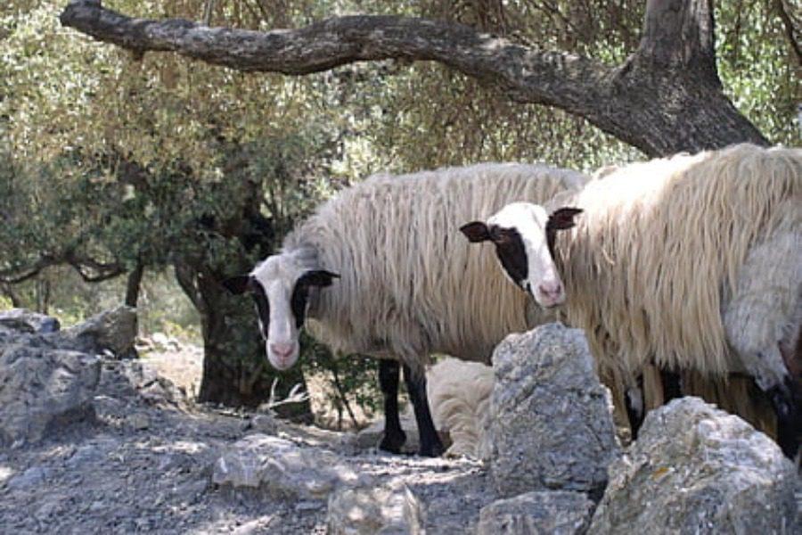 «Η αύξηση στις τιμές των ζωοτροφών εξανεμίζει το κέρδος των κτηνοτρόφων»