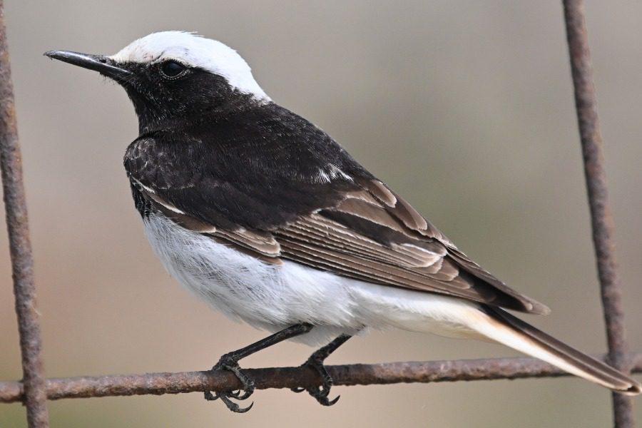 Ένα μοναδικό πουλί από την εποχή του Αριστοτέλη, στη μοναδική Λέσβο