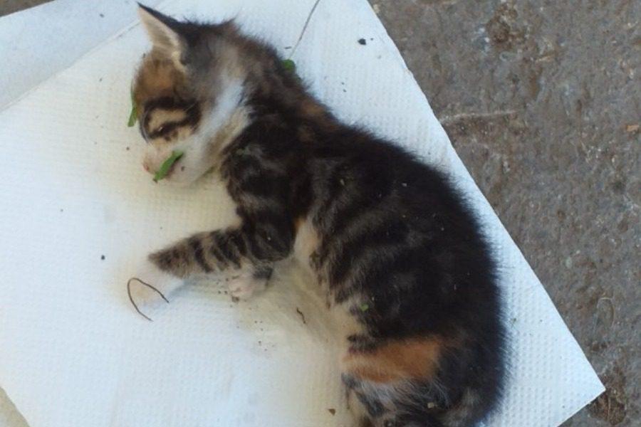 Από εσωτερική αιμορραγία πέθανε το γατάκι που ξυλοκοπήθηκε άγρια στο Πλωμάρι